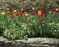 Bowral Tulip Festival - The Tulip Encrusted Rocky Wall